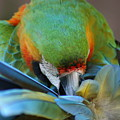 Macaw by Anita Parker