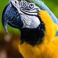 Duke Macaw by Alan Hart