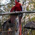 Macaw Guatemala by Kurt Van Wagner