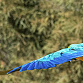 Macaw In Flight by Andrew Lelea