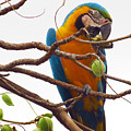 Macaw  by James Hennis