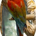 Macaw by Julie Pappas