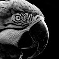 Macaw Parrot Portrait Black And White by Sue Harper