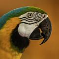 Macaw Portrait by Julian Regan