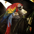Macaw Tampa Florida by Joseph G Holland