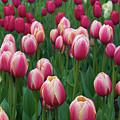 Mackinac Island Tulips 10681 by Guy Whiteley