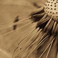 Macro - Dandelion by Danielle Silveira
