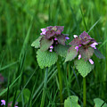 Macro Blooming Clover by Jeanette C Landstrom