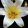 Macro Close Up Of White Lily Flower In Full Blossom by Imran Ahmed
