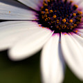 Macro Daisy by Brooke Roby