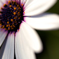 Macro Daisy One by Brooke Roby