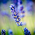 Macro Lavander Flowers In Lavender Field Artmif by Raimond Klavins