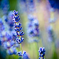 Macro Lavander Flowers In Lavender Field by Raimond Klavins