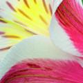 Macro Lily by Stephanie Hayes