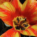 Macro Of A Blooming Striped Yellow And Red Tulip by DejaVu Designs