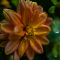 Macro Of Dahlia Flower by Jeff Folger