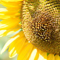 Macro Photography Of Sunflower by Miomir Magdevski