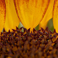 Macro Sunflower by Brooke Roby