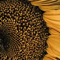Macro Sunflower by Cindy Gatzemeier