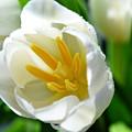 Macros White Tulip May-2011 by Eva Thomas