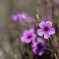 Madeira Island Geranium by Eva Lechner