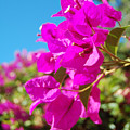 Magenta Bougainvillea by Jean Booth
