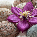 Clematis Flower On Meditation Stones by Michelle Himes