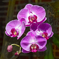 Magenta Orchids by Bob Slitzan