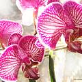 Magenta Orchids by Jane Schnetlage
