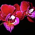 Magenta Phaleonopsis Orchid by Joyce Dickens