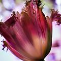 Magenta Tulip by Susan Bandy