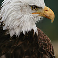 Magestic Eagle by Jacqui Boonstra