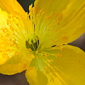 Magic Of The Golden Poppy by Maria Urso