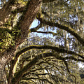Magnificant Live Oak Trees Color by Dustin K Ryan