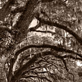 Magnificant Live Oak Trees  by Dustin K Ryan