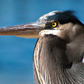 Magnificent Blue Heron by Rich Leighton
