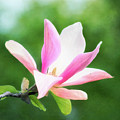 Magnificent Daybreak Magnolia At Day's End by Anita Pollak
