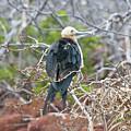 Magnificent Frigatebird by Robert Selin