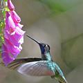 Magnificent Hummingbird A by Burt Finkelstein