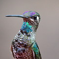 Magnificent Hummingbird Male by Ron D Johnson