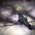 Magnificent Hummingbird by Saija  Lehtonen