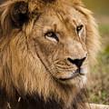 Magnificent Male Lion by Chad Davis