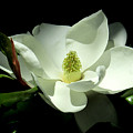 Magnificent White Magnolia - Photography by Hao Aiken