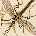 Magnified Mosquito by German School