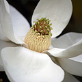 Magnolia 2 by Robert Meanor