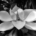 Magnolia Bloom B/w by Ronda Ryan