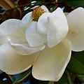 Magnolia Bloom by Linda Covino