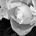 Magnolia Bloom by Patti Schulze