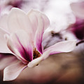Magnolia Bloom  by Vishwanath Bhat