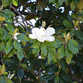 Magnolia Blooming 3 by Ruth Housley